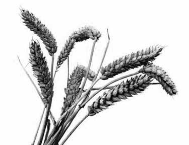 Trigo, el cereal más cultivado en Vidángoz