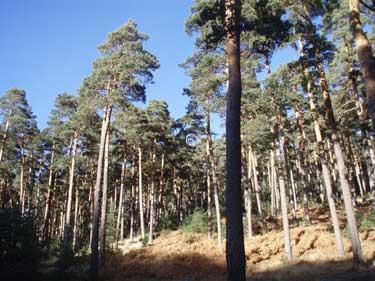 Pinar, paisaje frecuente en el monte de Vidángoz